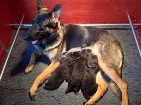 Dirkje met haar puppy's